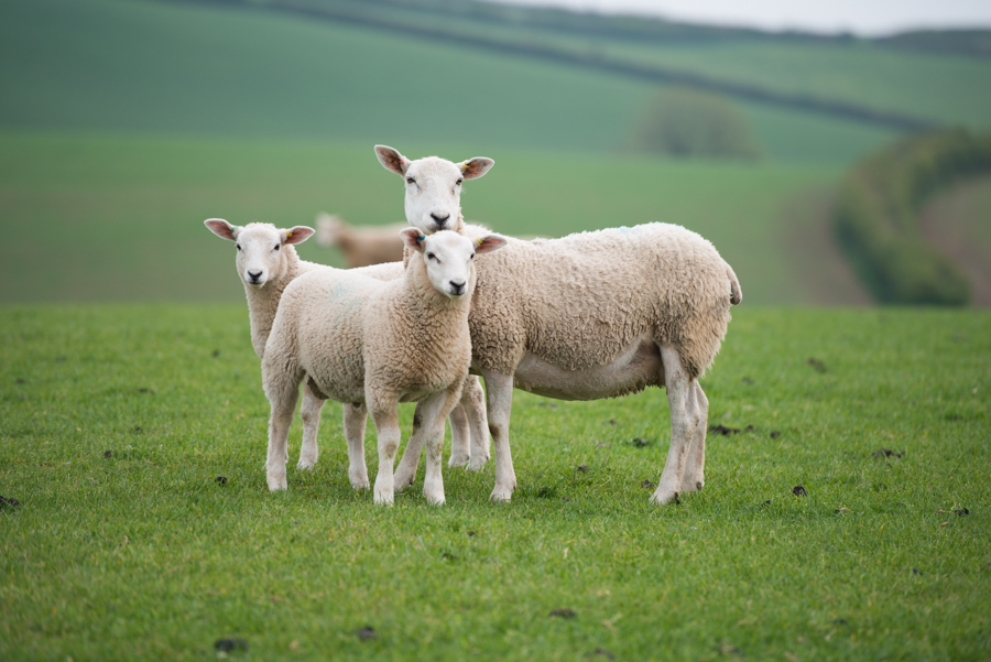 ProlleyNZ new composite sheep breed Innovis