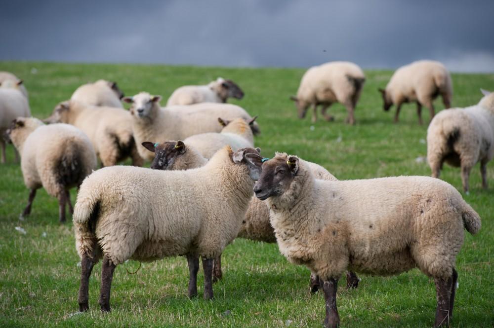 Lleyn X New Zealand Suffolk ewe lambs for sale | Performance